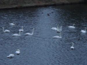 今年初めて飛鳥沼に白鳥たちが飛来しました