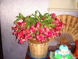 今年もジャコバサボテンが満開の季節を迎えました