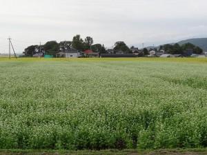 酒田市平田地域の転作田ではそばの花が満開でした