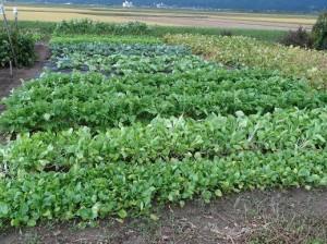 東京の娘たちが蒔いたチンゲン菜・タイ菜・大根がこんなに大きくなりました